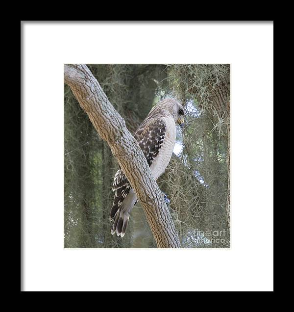 Birds Of Prey Framed Print featuring the photograph Hawk by Kristy Ollis