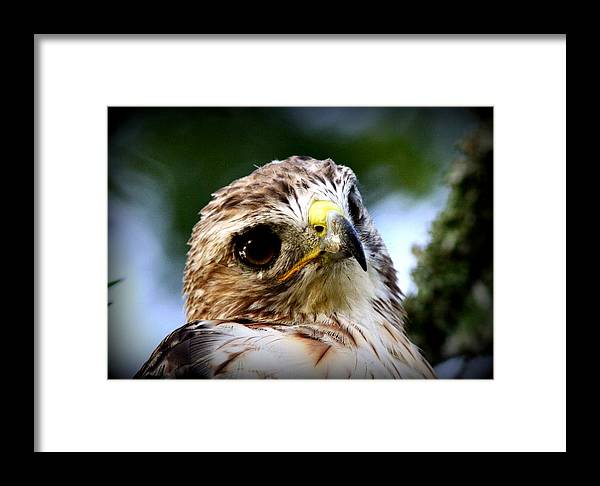 Young Framed Print featuring the photograph Hawk - Raptor - Living The Good Life by Travis Truelove