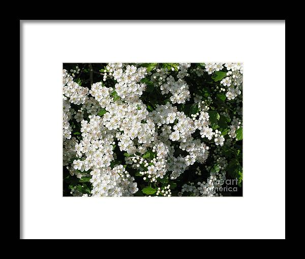 Hawthorn Framed Print featuring the photograph Hawthorn In Bloom by Ann Horn