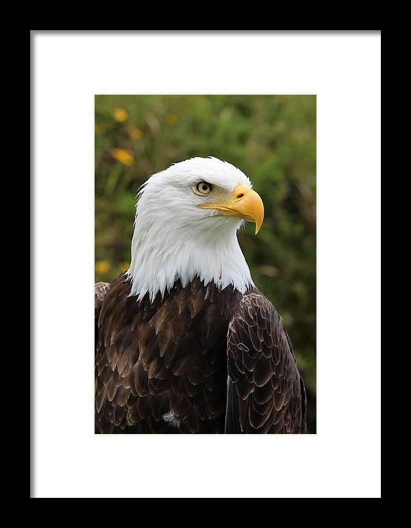American Bald Eagle Framed Print featuring the photograph Head Of A Male American Bald Eagle by Robert Hamm