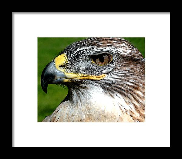 Nature Framed Print featuring the photograph Head Portrait Of A Eagle by Cliff Norton