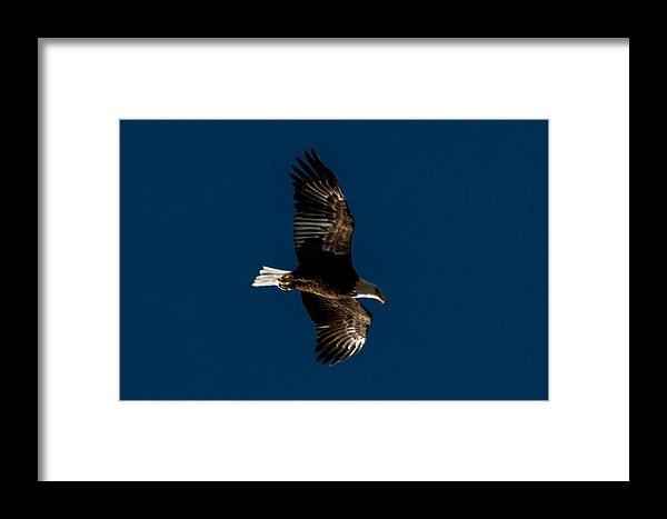 Bald Eagle Art Framed Print featuring the photograph Heading Home by Ronald Hunt