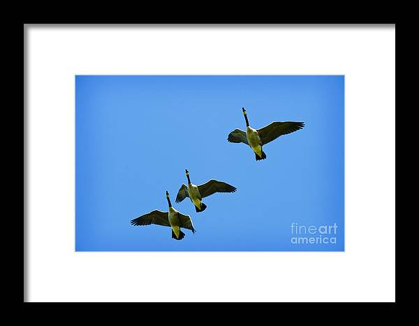 Three Canadian Geese Flying In Formation Framed Print featuring the photograph Heading North by Jim Calarese