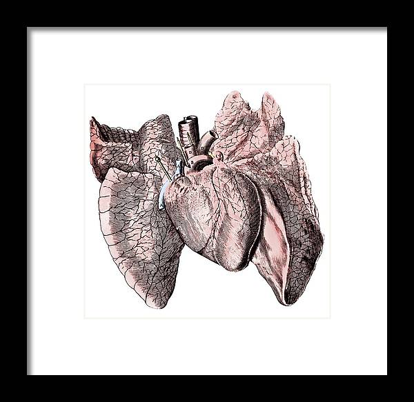 Heart And Lung Anatomy Framed Print By Science Photo Library