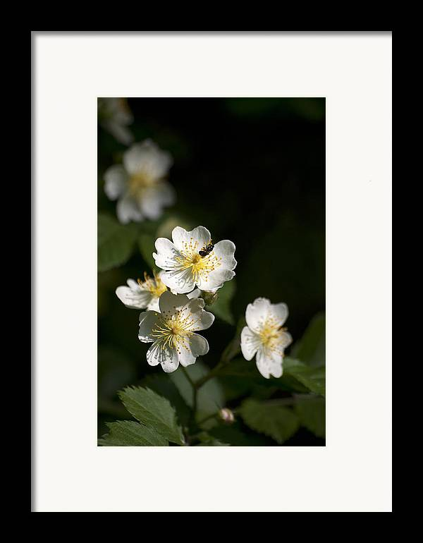 Rose Framed Print featuring the photograph Heaven's Scent by Christina Rollo