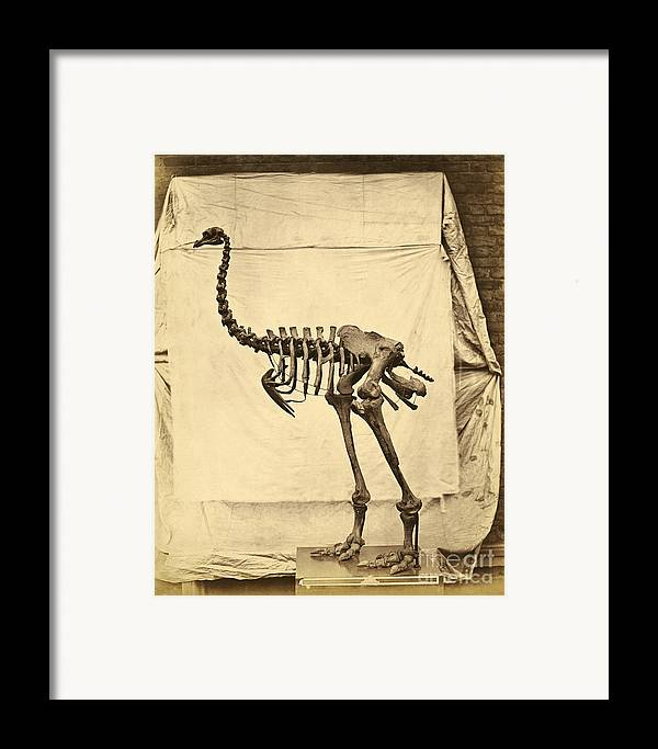 Moa Framed Print featuring the photograph Heavy Footed Moa Skeleton by Getty Research Institute