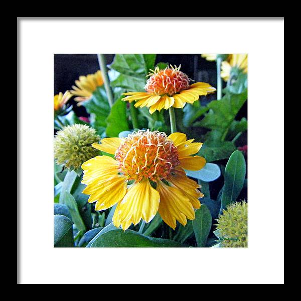 Duane Mccullough Framed Print featuring the photograph Helenium Flowers 1 by Duane McCullough