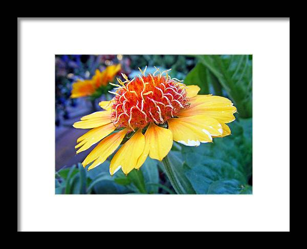 Duane Mccullough Framed Print featuring the photograph Helenium Flowers 2 by Duane McCullough