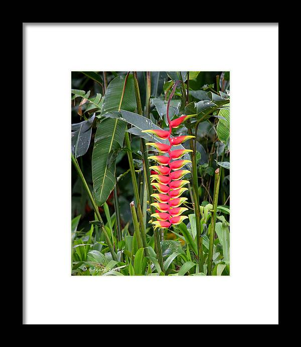Heliconia Rostata Framed Print featuring the photograph Heliconia Rostata by Edgar Torres