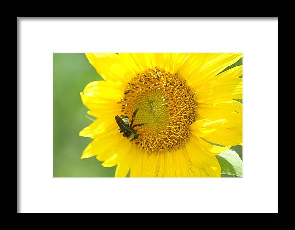 Hello Sunflower Framed Print featuring the photograph Hello Sunflower by Maria Urso