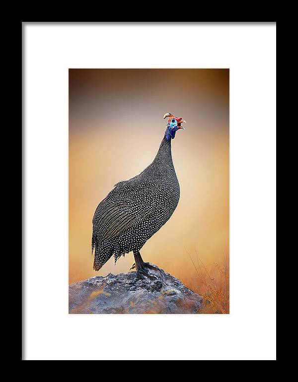 Helmeted Framed Print featuring the photograph Helmeted Guinea-fowl Perched On A Rock by Johan Swanepoel