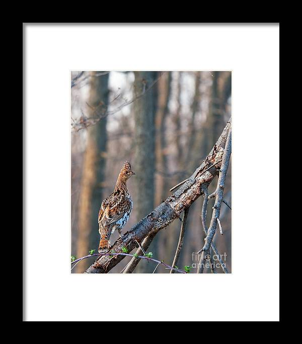 Grouse Framed Print featuring the photograph Hen Ruffed Grouse On Roost by Timothy Flanigan and Debbie Flanigan Nature Exposure
