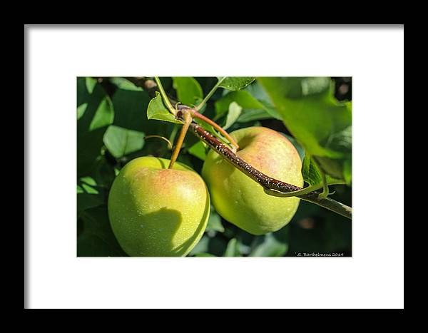 Farming Framed Print featuring the photograph Henderson County Apples II by Steven Gaboury Barthelmeus