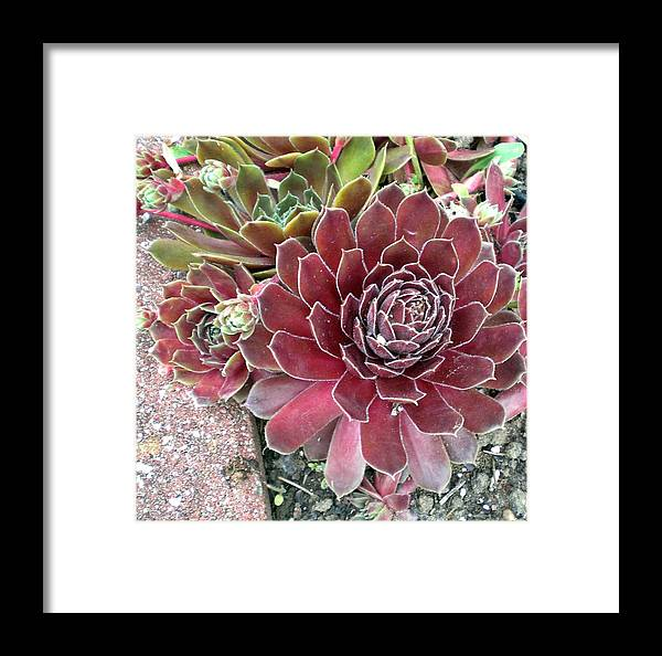 Hen-and-chickens Framed Print featuring the photograph Hens And Chicks by Sholeh Mesbah