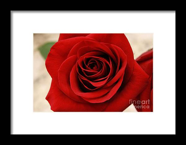 Rose Framed Print featuring the photograph Her Majesty All Profits Benefit Hospice Of The Calumet Area by Joanne Markiewicz