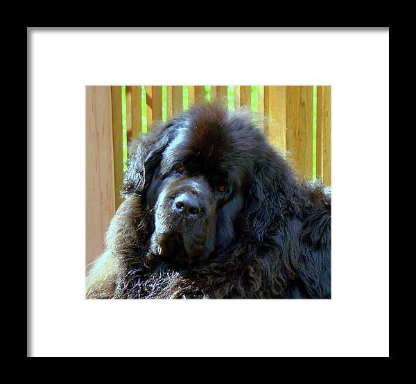 Newfoundland Framed Print featuring the photograph Hes so cute by Lisa Rose Musselwhite