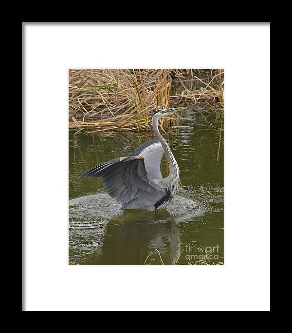 Heron Framed Print featuring the photograph Hey Look Me Over by Carol Bradley