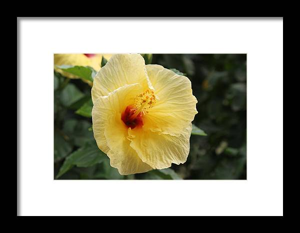 Hawaii State Flower Framed Print featuring the photograph Hibicus by Dick Willis