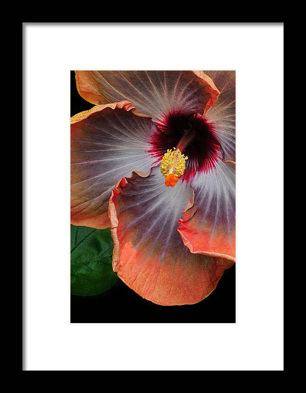 Hibiscus Framed Print featuring the photograph Hibiscus Key Largo by Dave Mills