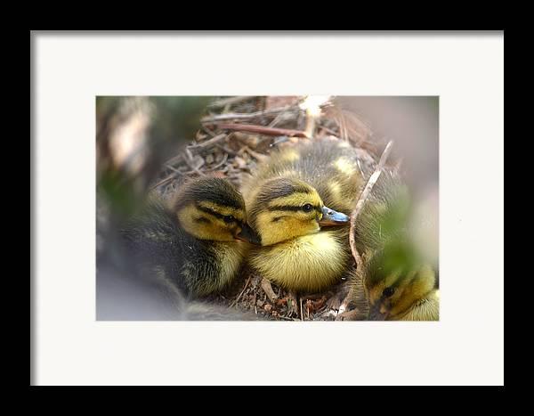 Mallard Ducklings Framed Print featuring the photograph Hidden by Deb Halloran