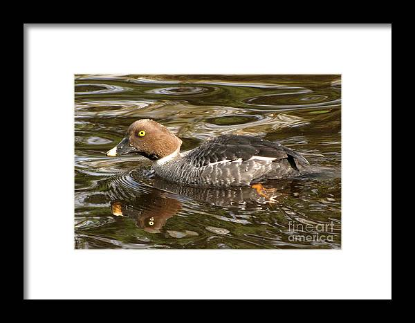 Common Goldeneye Framed Print featuring the photograph Hiding In Brown Waters by Frank Townsley