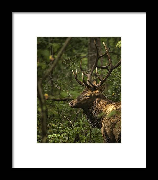 Elk Framed Print featuring the photograph Hiding In The Woods by Michael Dougherty