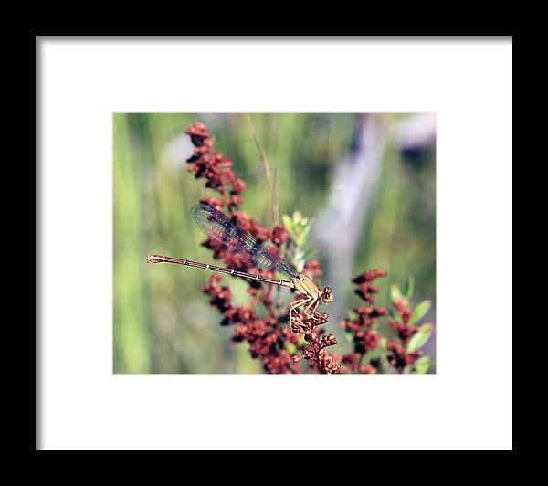 Damselfly Framed Print featuring the photograph Hiding Out Among The Plants by Carolyn Fletcher