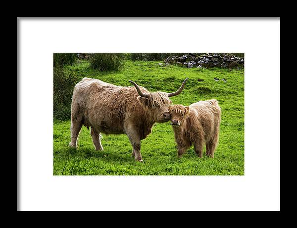 Horned Framed Print featuring the photograph Highland Cattle And Calf by John Short / Design Pics
