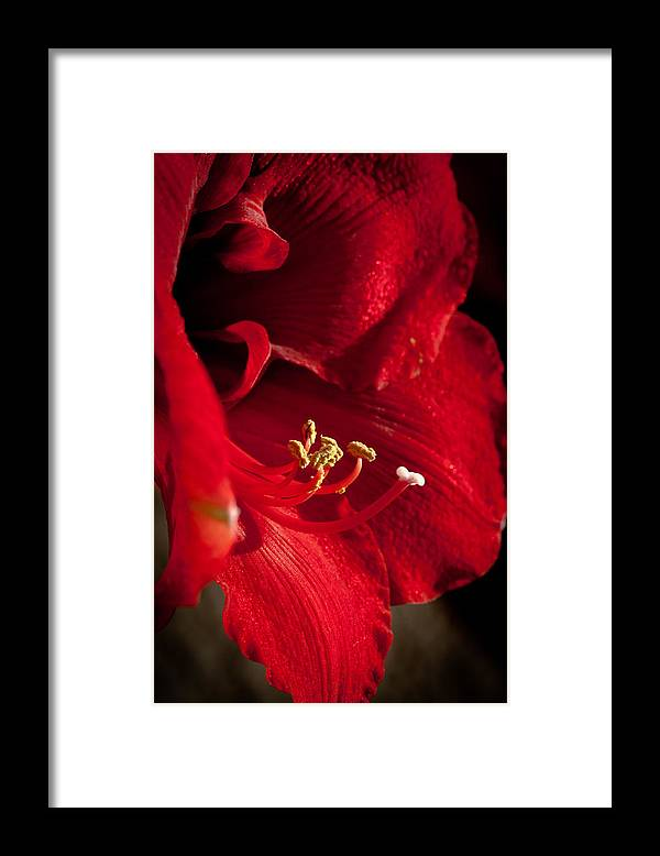 Hippeastrum Framed Print featuring the photograph Hippeastrum by Ralf Kaiser