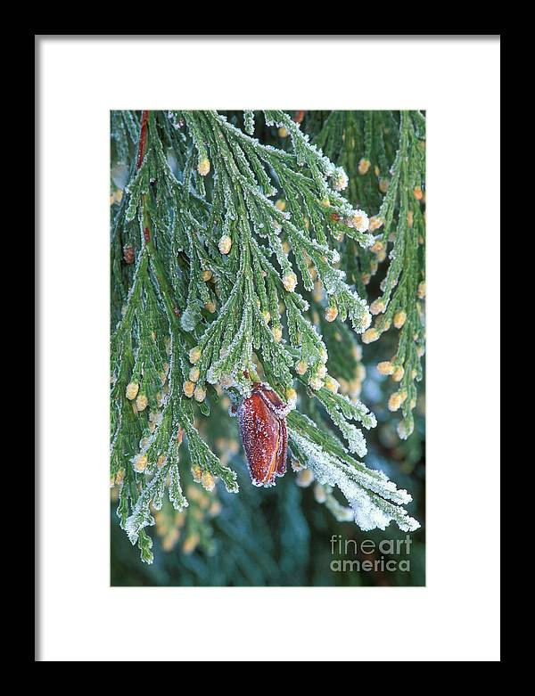 North America Framed Print featuring the photograph Hoarfrost On Pine Bough Yosemite National Park by Dave Welling