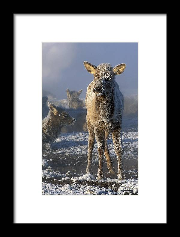 Yellowstone Framed Print featuring the photograph Hoarfrosted Elk Calf by Sandra Bronstein