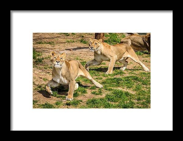 Lion Framed Print featuring the photograph Hokie Pokie by Pat Scanlon