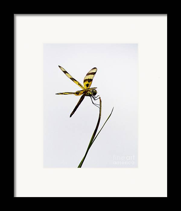 Dragon Fly Framed Print featuring the photograph Holding On by Anne Rodkin