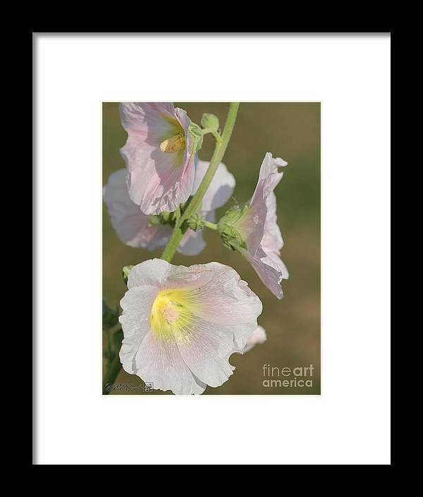 Mccombie Framed Print featuring the photograph Hollyhock Named Indian Spring Pink by J McCombie