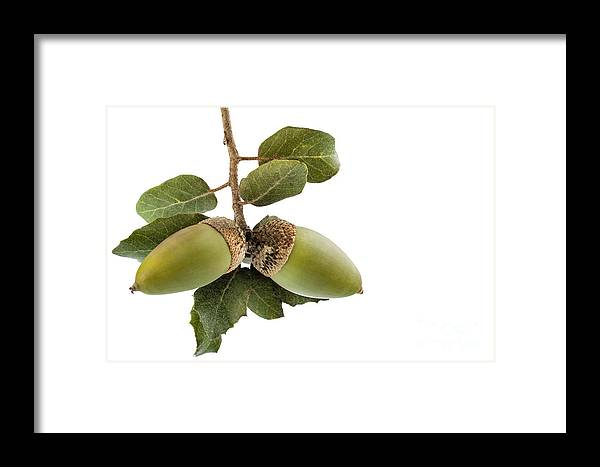 Acorn Framed Print featuring the photograph Holm Oak Branch With Acorns by Pablo Romero