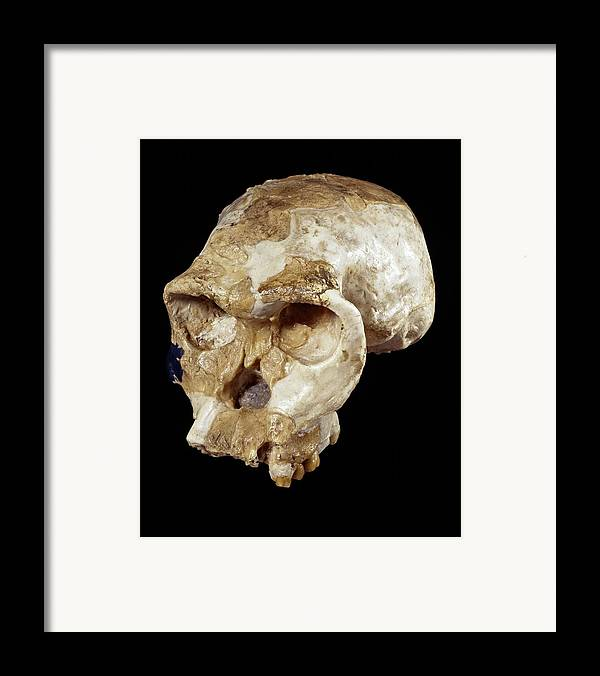 Oh 24 Framed Print featuring the photograph Homo Habilis Cranium (oh 24) by Science Photo Library