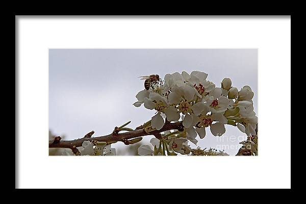Bee Framed Print featuring the photograph Honey Bee On Almond Blossom  #9636 by J L Woody Wooden