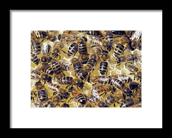Apis Mellifera Framed Print featuring the photograph Honeybees On Honeycomb by Simon Fraser/science Photo Library