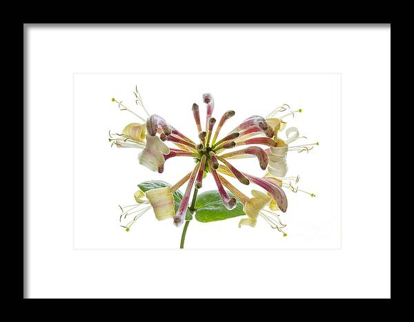 Honeysuckle Framed Print featuring the photograph Honeysuckle by Ann Garrett
