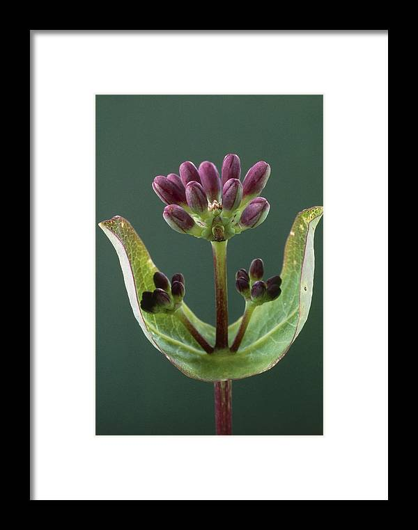 Botany Framed Print featuring the photograph Honeysuckle Buds by Perennou Nuridsany
