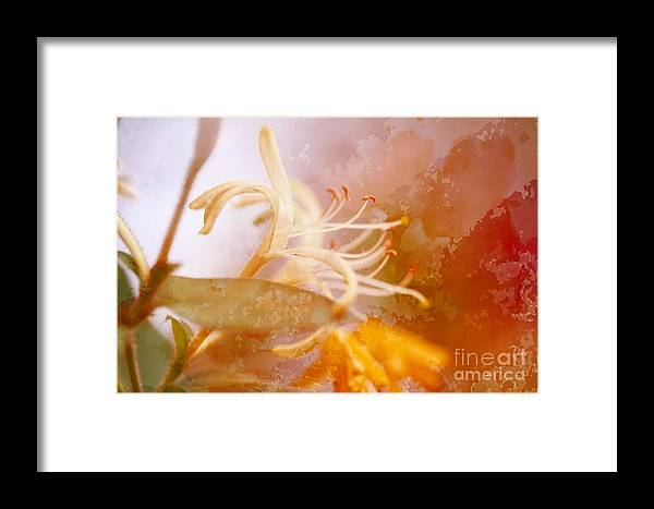 Honeysuckle Framed Print featuring the photograph Honeysuckle With Texture by Audreen Gieger