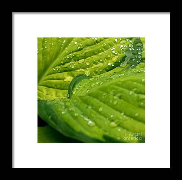 Garden Framed Print featuring the photograph Hosta Droplets II by Valerie Fuqua