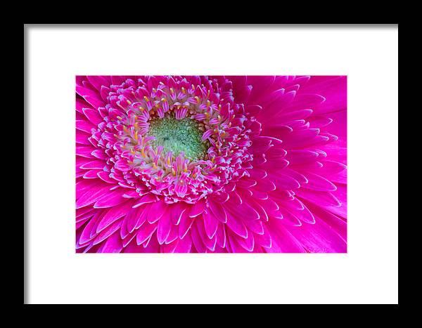 Gerbera Framed Print featuring the photograph Hot Pink Gerbera Daisy by Heidi Smith