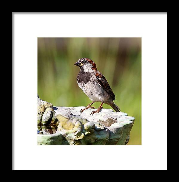 House Sparrow Framed Print featuring the photograph House Sparrow by David Byron Keener