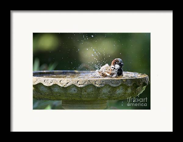 House Sparrows Sparrows Framed Print featuring the photograph House Sparrow Washing by Tim Gainey