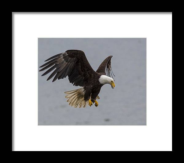 Bald Framed Print featuring the photograph Hover Hunter by Mike Taddeo