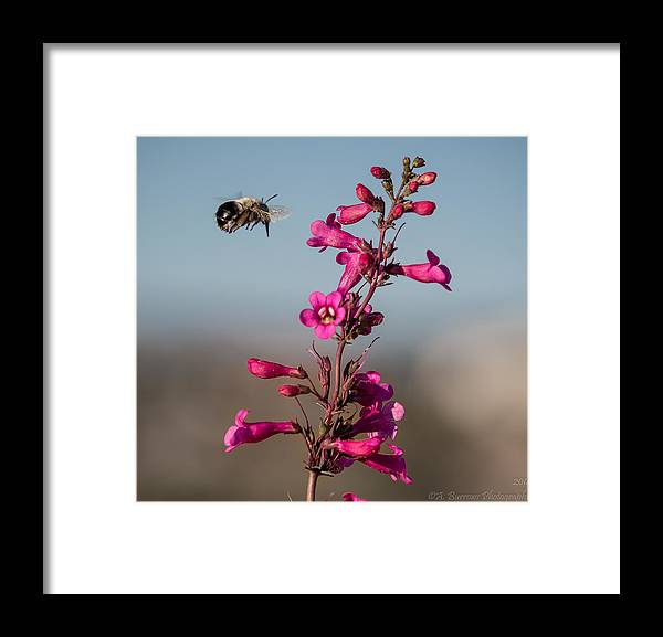 Parry's Penstemon Framed Print featuring the photograph Hovering Bee by Aaron Burrows
