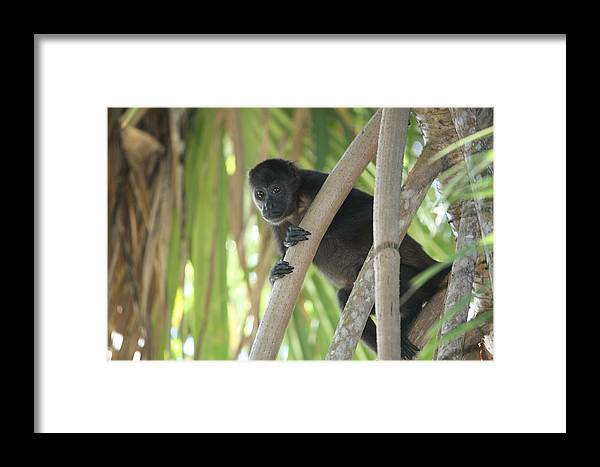 Monkey Framed Print featuring the photograph Howler Monkey Looking Down by Paula Thomas