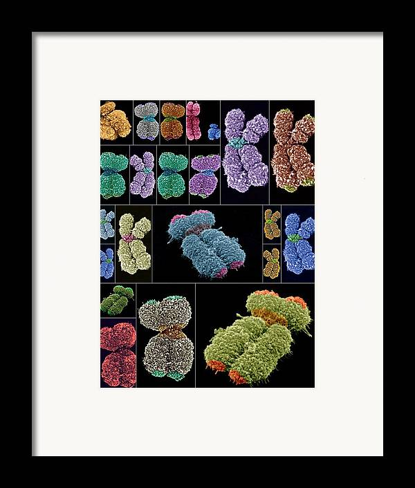 Chromosome Framed Print featuring the photograph Human Chromosomes, Sems by Science Photo Library