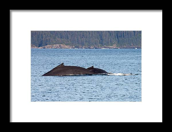 Framed Print featuring the photograph Humback Whale and Calf by Richard Jack-James